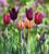 Venetian Tulip Collection in a Gift Box (45 bulbs)