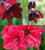 Christmas Amaryllis Collection in a Gift Box (3 bulbs)