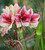Amaryllis 'Tosca'