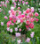 Buckets of Tulips Mix