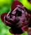 Madame de Pompadour Tulip Collection
