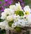 White Vase Tulip Collection