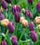 Tulip 'African King'