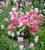 Tulip 'Finola'