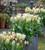 Tulip 'Ice Stick'