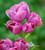 Tulip 'Multiflora Blue'