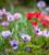 Anemone coronaria De Caen Mix