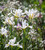 Iris x hollandica 'Alaska'