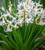 Hyacinthus orientalis 'White' (Multiflora)
