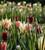 Tulip and Camassia Drift Mix