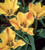 Tulip linifolia (Batalinii Group) 'Bright Gem'