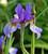 Iris sibirica 'Shaker's Prayer'