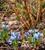 Iris 'Alida' (Reticulata)
