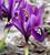 Iris 'Pauline' (Reticulata)