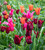 Bold and Brilliant Tulip Collection in a Gift Box (20 bulbs)