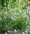 Gaura lindheimeri 'Karalee White' (syn. Oenothera)