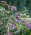 Hydrangea aspera Villosa Group