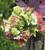 Viburnum opulus 'Roseum' syn. 'Sterile'