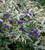 Elaeagnus angustifolia 'Quicksilver'