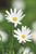 Argyranthemum frutescens 'Madeira White'