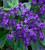 Heliotropium arborescens 'Midnight Sky'