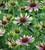 Echinacea purpurea 'Green Twister'
