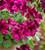 Pelargonium 'Aldwyck'