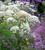 Selinum wallichianum