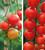 Tomato 'Gardener's Delight' and 'Stupicke Polni Rane' Collection