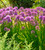 Allium nutans 'Millennium'