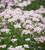 Achillea sibirica subsp. camschatica 'Love Parade'