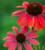 Echinacea 'Sombrero Hot Coral'