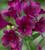 Alstroemeria 'Cardinal Purple'