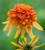 Summer Salsa Echinacea Collection