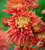 Chrysanthemum for Christmas Collection
