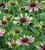 Green Jewel Echinacea Collection