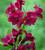 Alstroemeria 'Royal Velvet'