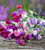 Bicolour Sweet Pea Collection