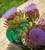 Cynara cardunculus (Cardoon)