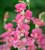Antirrhinum majus 'Chantilly Pink' F1