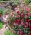 Salvia microphylla 'Trewithen Cerise'