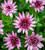 Osteospermum '3D Berry White'
