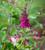 Scented Crimson Perennial Pot Collection