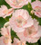 Dianthus x allwoodii 'Tequila Sunrise'