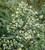 Thalictrum delavayi 'Splendide White'