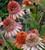 Echinacea 'Supreme Cantaloupe'