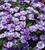 Calibrachoa 'Double Can-Can Provence Blue'