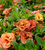 Calibrachoa 'Double Can-Can Apricot'