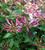 Lonicera periclymenum 'Rhubarb and Custard'®
