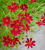 Coreopsis verticillata 'Limerock Ruby'